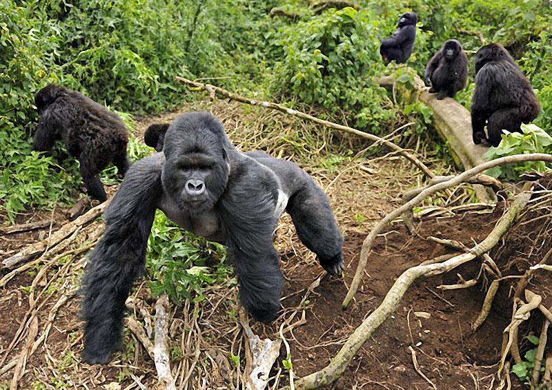 gorillas07 Гориллы: Жизнь на грани