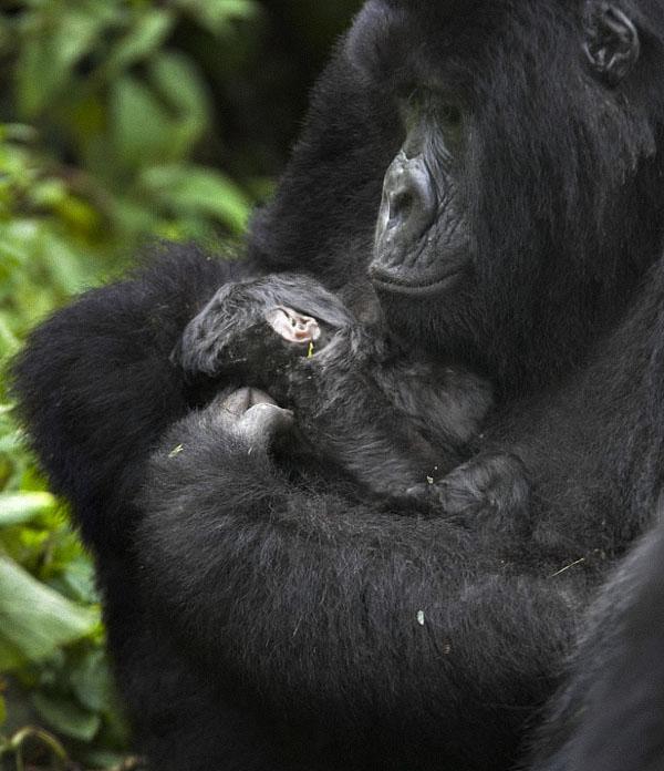 gorillas08 Гориллы: Жизнь на грани