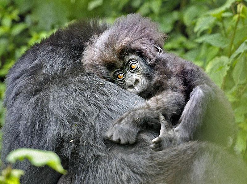 gorillas09 Гориллы: Жизнь на грани
