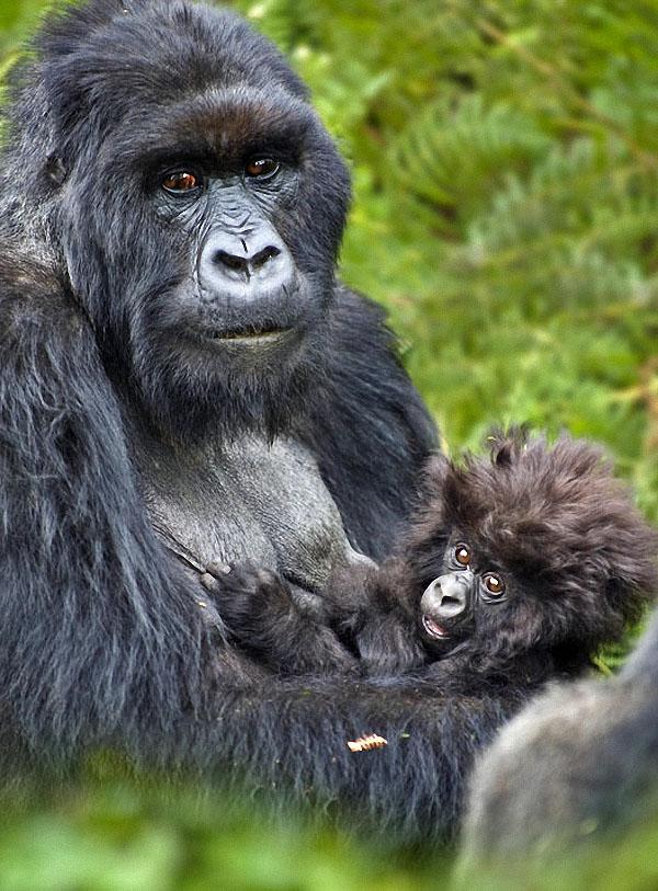 gorillas10 Гориллы: Жизнь на грани