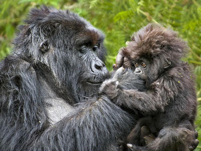 gorillas11 Гориллы: Жизнь на грани