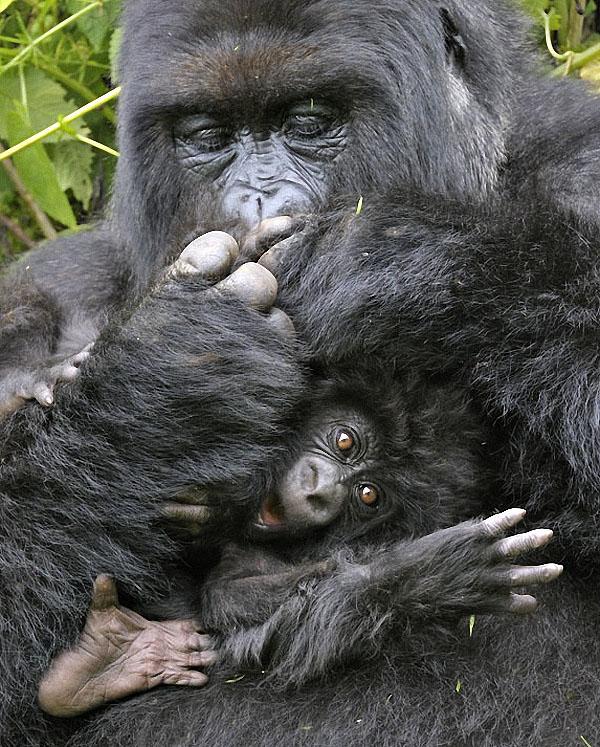 gorillas12 Гориллы: Жизнь на грани