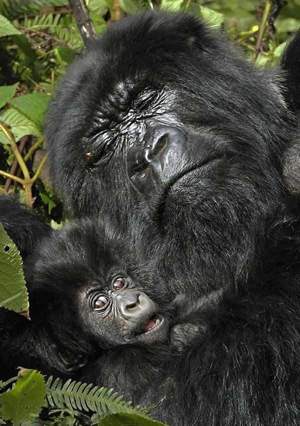 gorillas13 Гориллы: Жизнь на грани