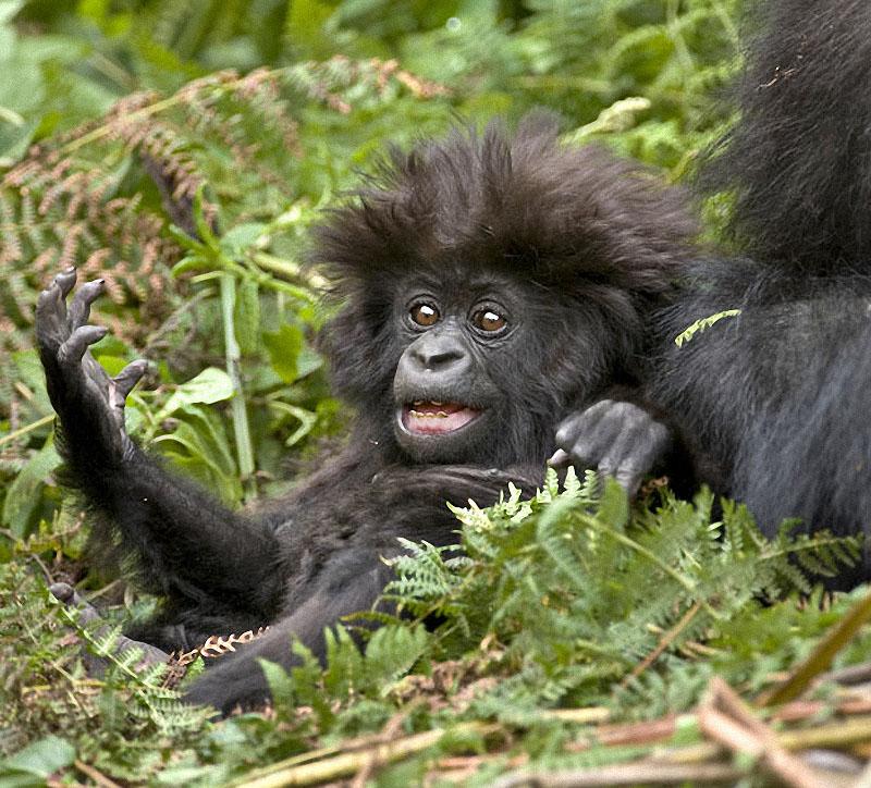 gorillas14 Гориллы: Жизнь на грани