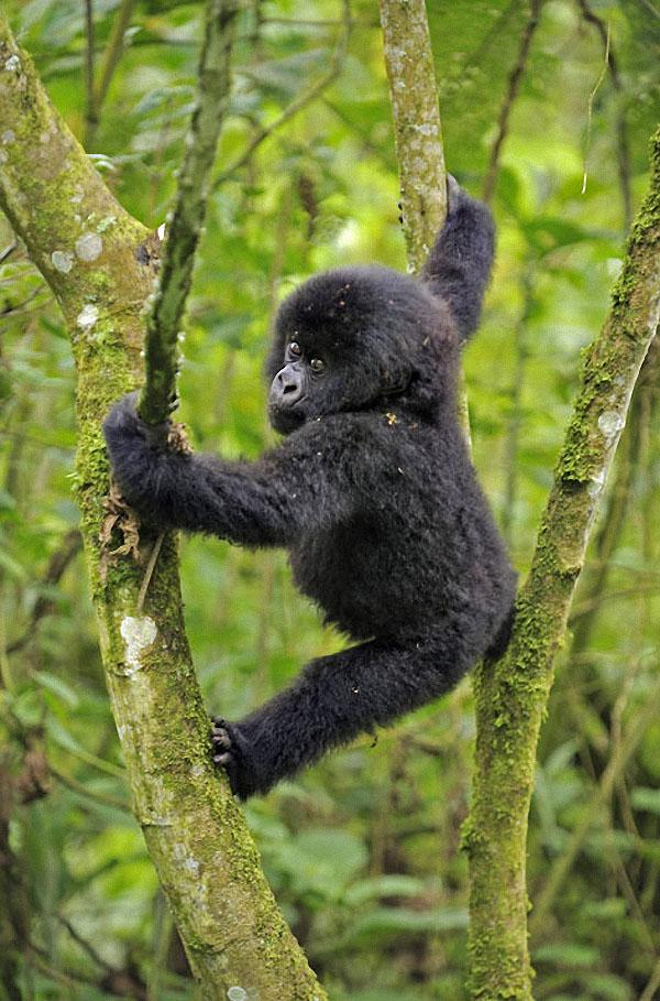 gorillas15 Гориллы: Жизнь на грани