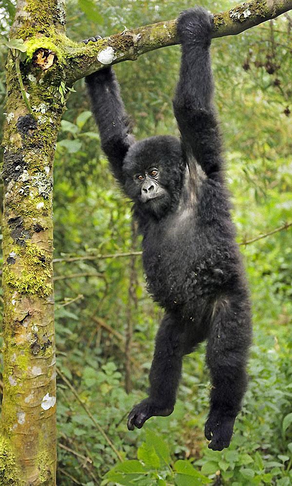 gorillas16 Гориллы: Жизнь на грани