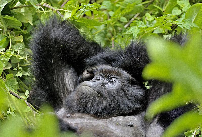 gorillas17 Гориллы: Жизнь на грани