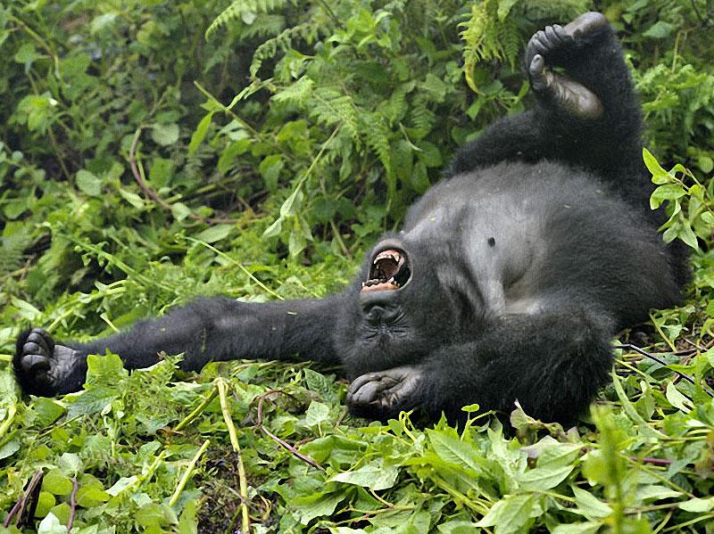 gorillas18 Гориллы: Жизнь на грани