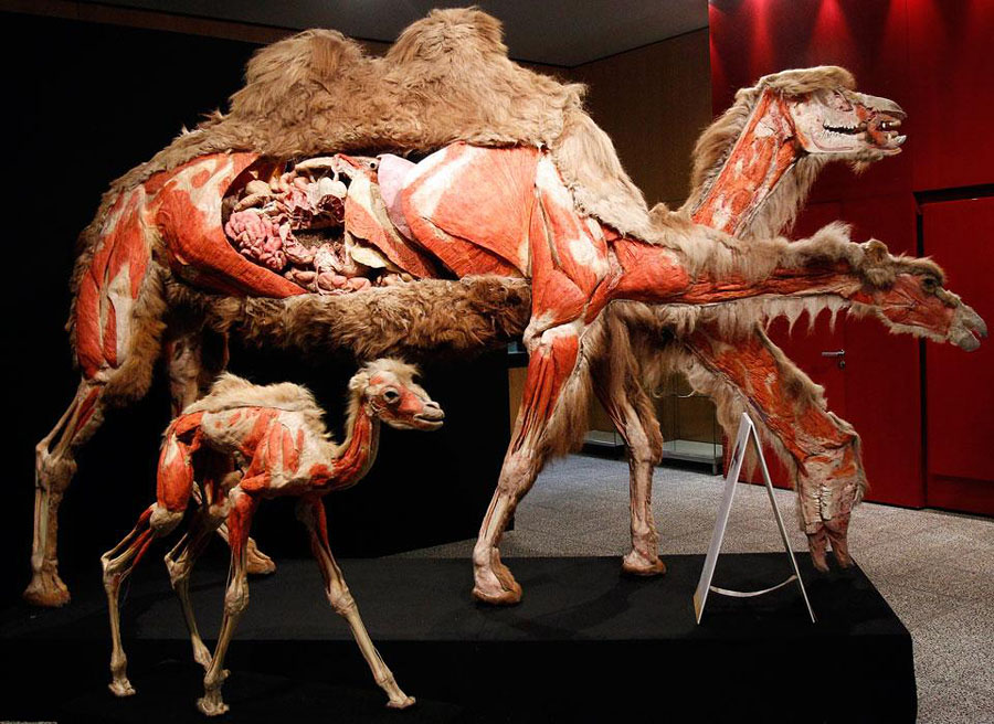 plastif03 Выставка пластифицированных животных в зоопарке Кёльна