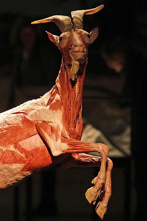 plastif10 Выставка пластифицированных животных в зоопарке Кёльна