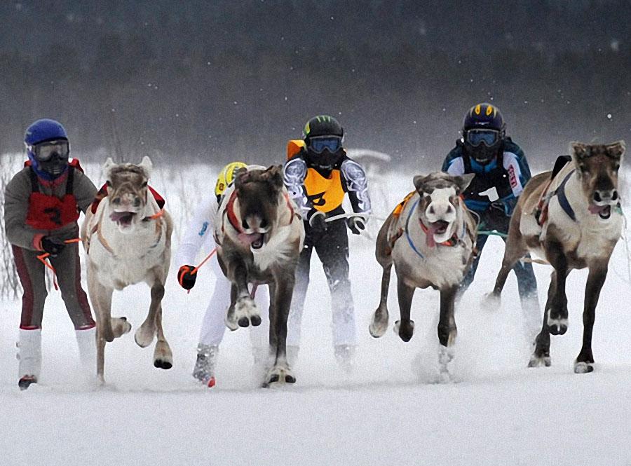 race05 Гонки на северных оленях в Лапландии
