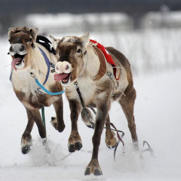 race08 Гонки на северных оленях в Лапландии