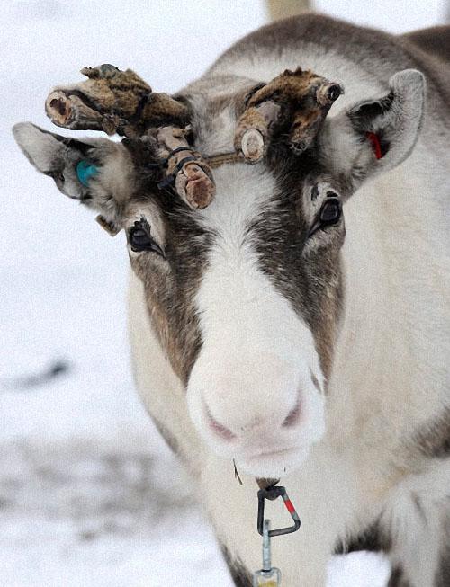 race11 Гонки на северных оленях в Лапландии