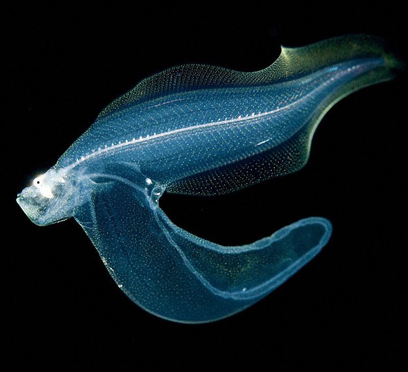 sea09 Светящиеся существа из морских глубин
