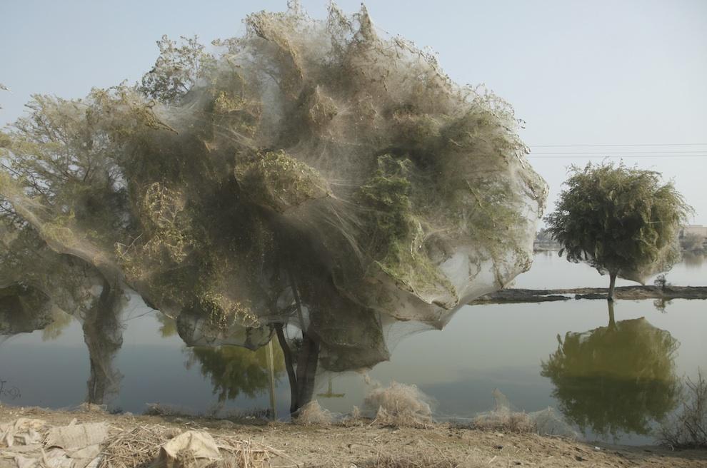 web01 Нашествие пауков на деревья в Пакистане
