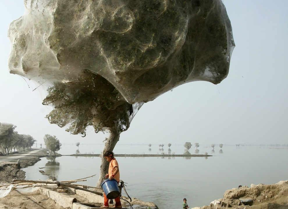 web04 Нашествие пауков на деревья в Пакистане