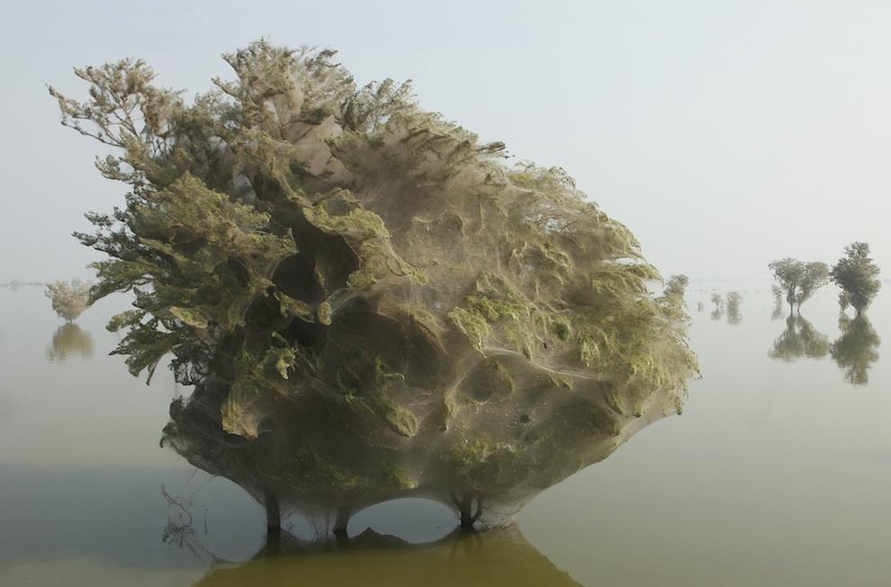 web05 Нашествие пауков на деревья в Пакистане