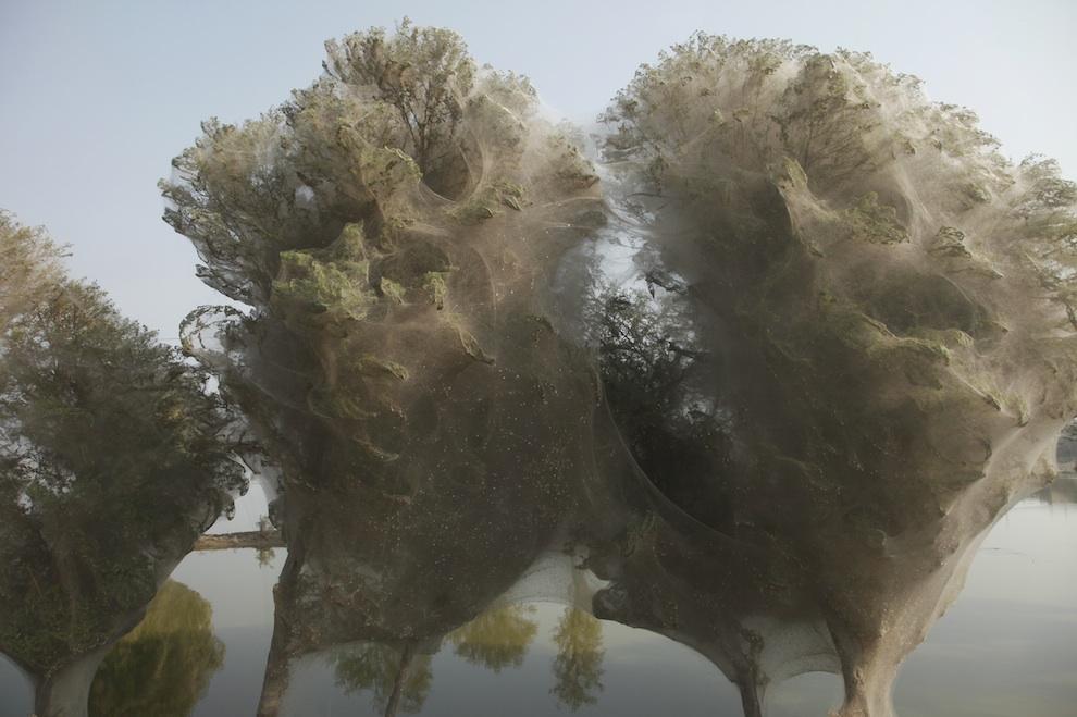 web07 Нашествие пауков на деревья в Пакистане
