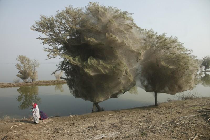 web08 800x533 Нашествие пауков на деревья в Пакистане