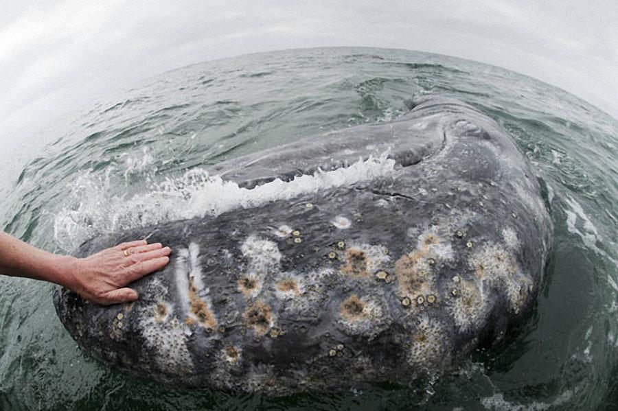 whale05 Самые дружелюбные киты на свете