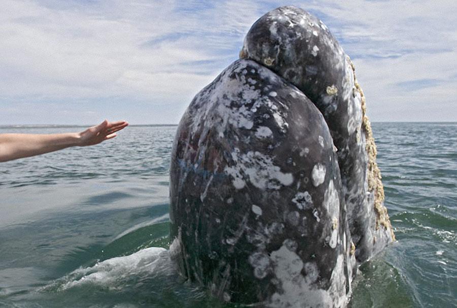 whale10 Самые дружелюбные киты на свете