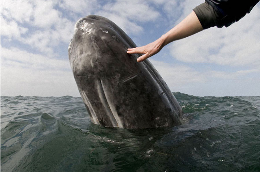 whale12 Самые дружелюбные киты на свете