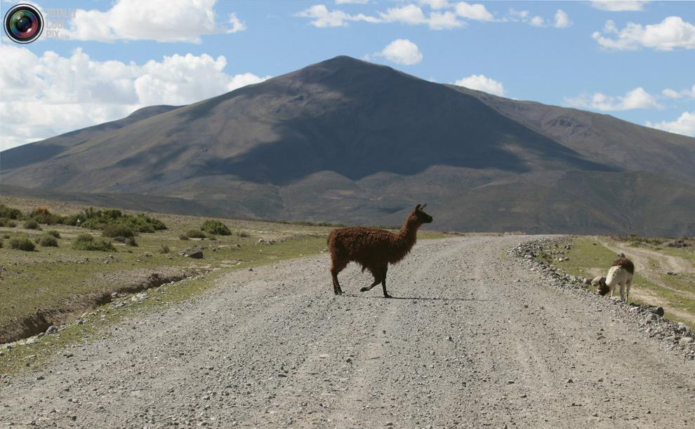 Животные переходят дорогу