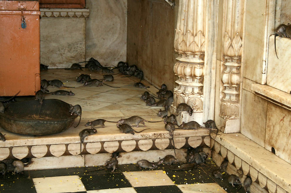 Карни Мата: Храм крыс