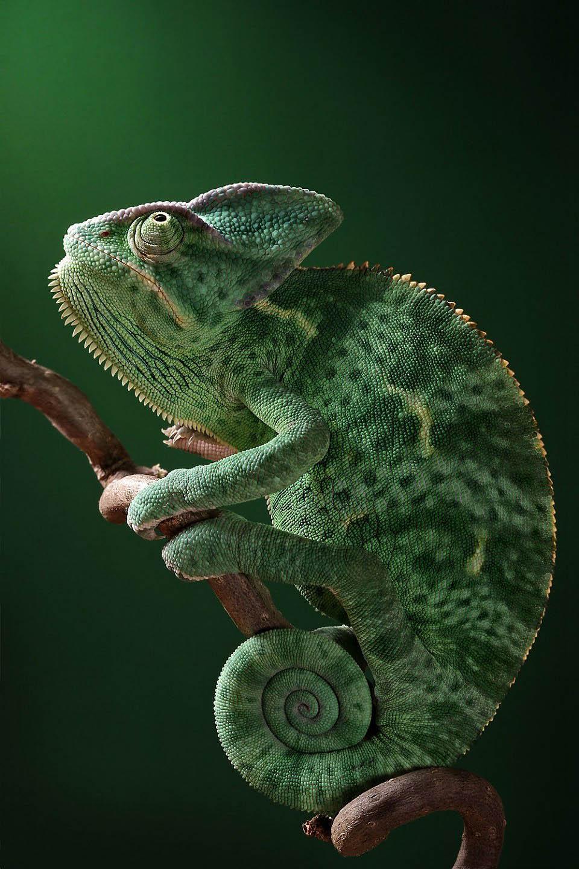 Reptil dan amfibi reptile02 Igor Sivanovicha