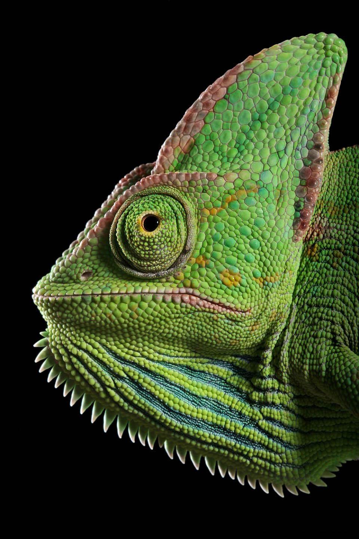 Reptil dan amfibi reptile04 Igor Sivanovicha
