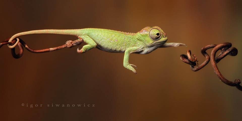 Reptil dan amfibi reptile05 Igor Sivanovicha