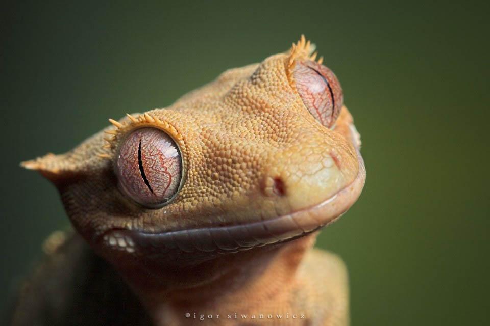 Reptil dan amfibi reptile07 Igor Sivanovicha