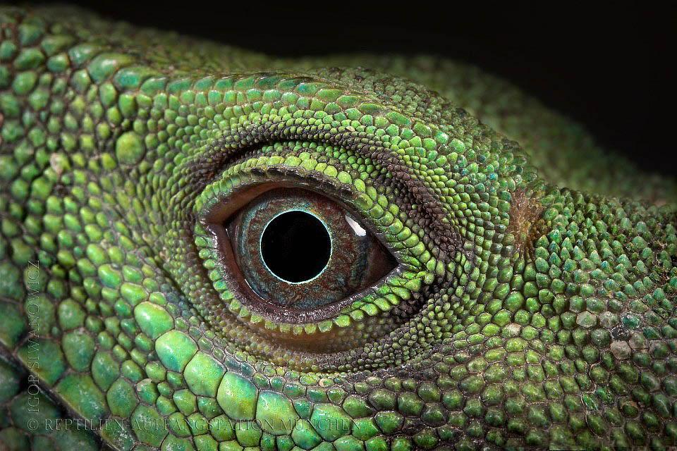 Reptil dan amfibi reptile09 Igor Sivanovicha