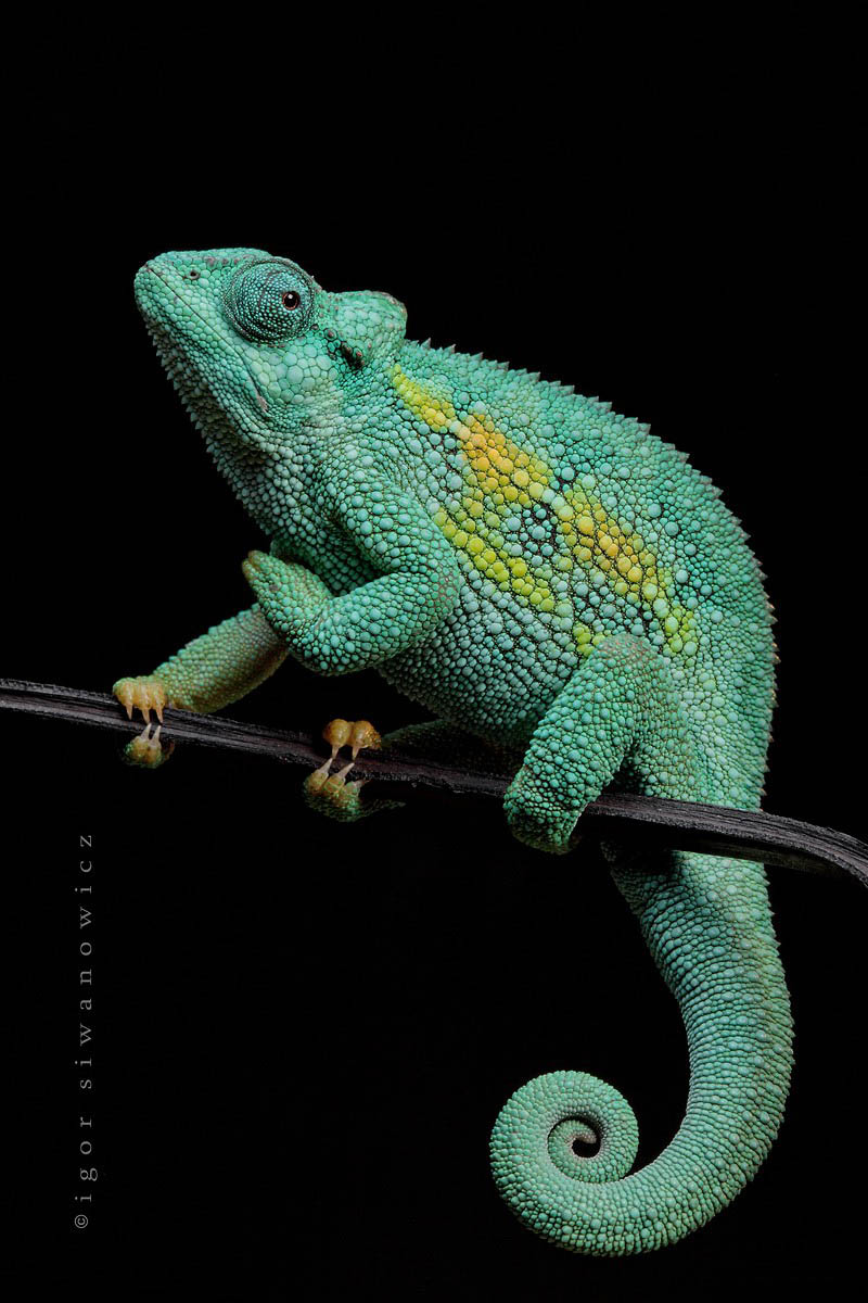 Reptil dan amfibi reptile10 Igor Sivanovicha