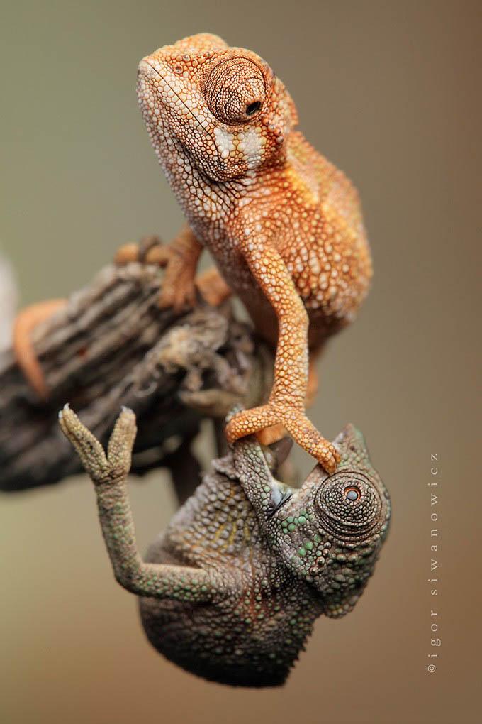 Reptil dan amfibi reptile12 Igor Sivanovicha