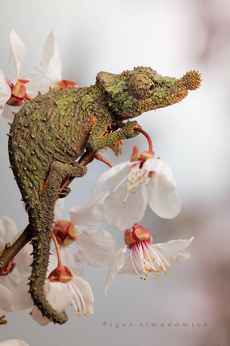 Reptil dan amfibi reptile13 Igor Sivanovicha