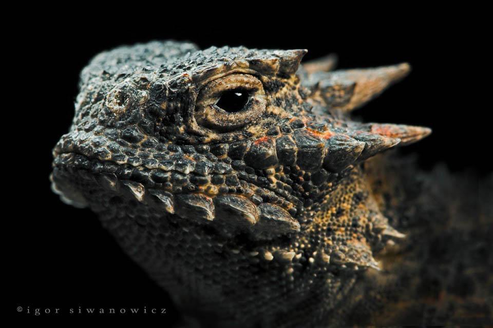 Reptil dan amfibi reptile17 Igor Sivanovicha