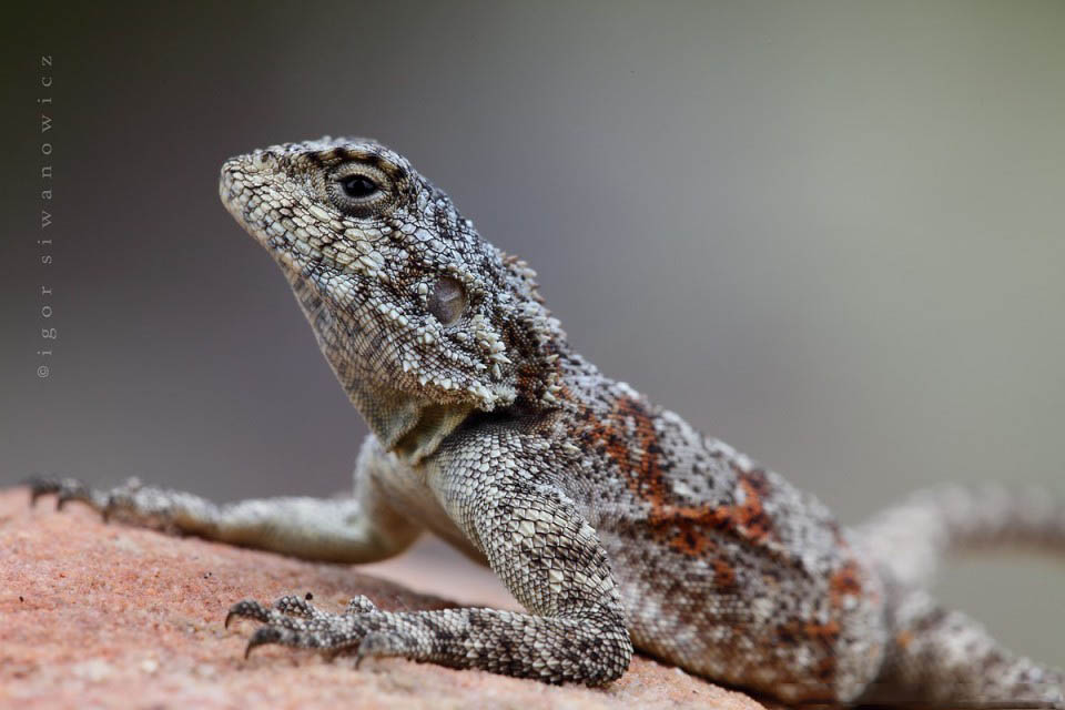Reptil dan amfibi reptile18 Igor Sivanovicha
