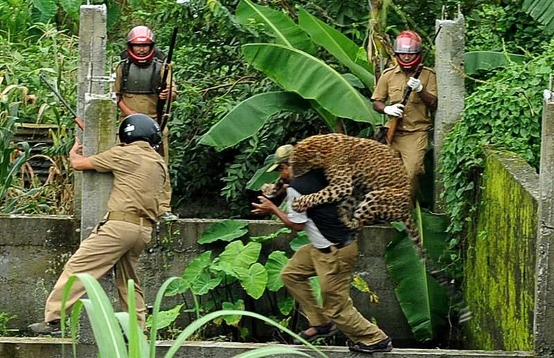 В Индии дикий леопард покалечил шестерых лесников