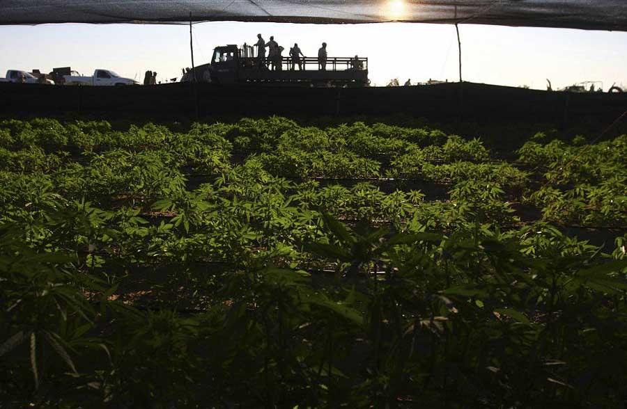 350029 ministere defense indique soldats avaient В Мексике обнаружена крупнейшая в истории плантация марихуаны