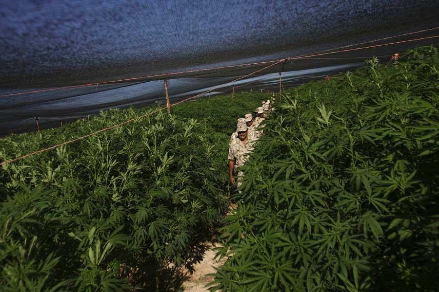 350030 bien quon ignore pourcentage precis В Мексике обнаружена крупнейшая в истории плантация марихуаны