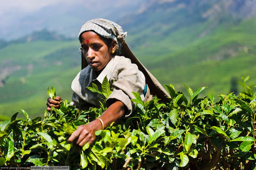 Как собирают чай или репортаж про чайных девственниц