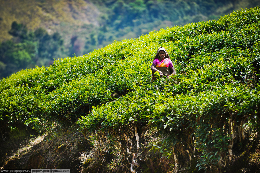 Bagaimana mengumpulkan teh atau teh laporan tentang perawan