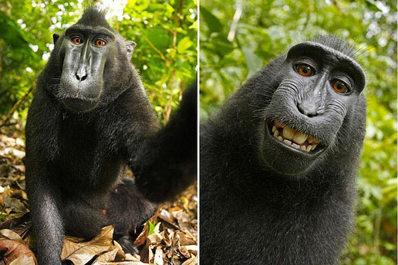 BIGPIC5 Макака улыбака: Обезьяна сделала серию автопортретов