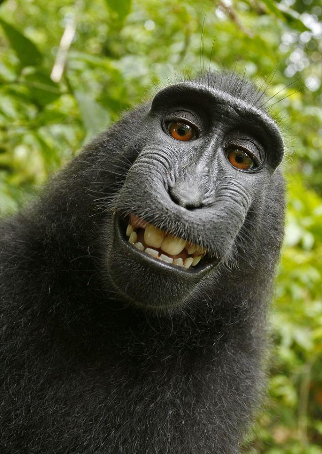 article 2011051 0CDC0F0900000578 739 634x894 Макака улыбака: Обезьяна сделала серию автопортретов