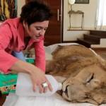 Парализованного льва пытаются спасти всем миром