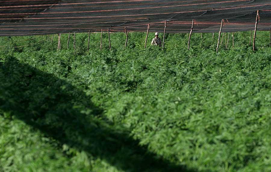 pb 110714 marijuana 01 seida.photoblog900 В Мексике обнаружена крупнейшая в истории плантация марихуаны