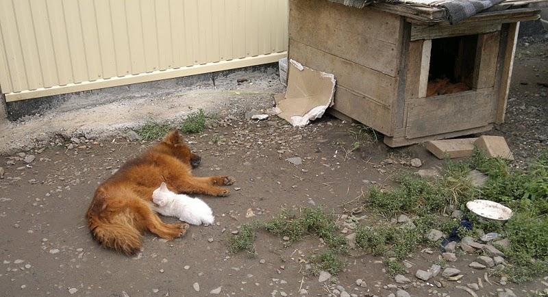 07082011010 Собака усыновила котенка
