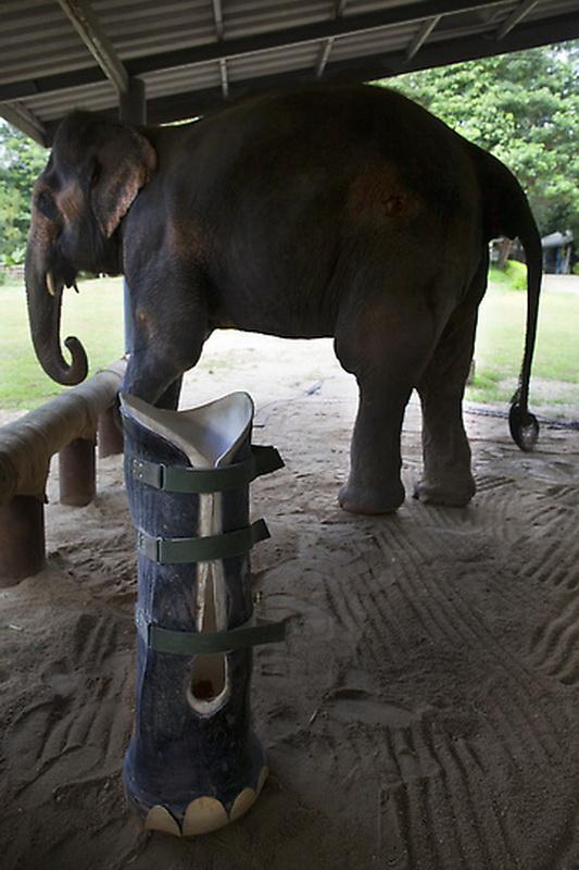 Новый протез для слонихи Моталы