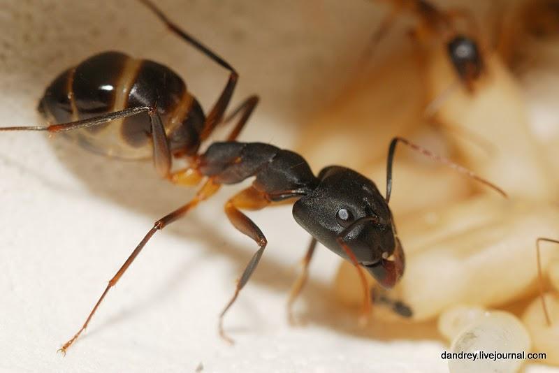 Кстати, ни одно другое насекомое на Земле не живёт так долго как муравьиная королева.  Правда...